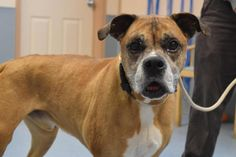 Archie is an adoptable Boxer searching for a forever family near Bay Shore, NY. Use Petfinder to find adoptable pets in your area.