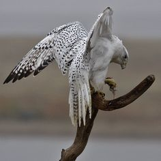 Gyrfalcon with Prey  copyright (c) Joanne Stolte~I believe they are the largest of the falcons