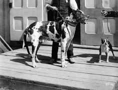 Great Dane & Boston Terrier 1906 colección C.H.