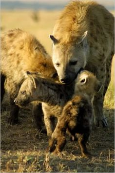 Hyenas. BelAfrique - Your Personal Travel Planner - www.belafrique.co.za
