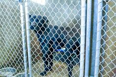 10/31/14 - ODESSA URGENT - Lab mix male 1-2 years old -Kennel A36 -Available NOW**** $51 to adopt Located at Odessa, Texas Animal Control. Must have a valid Drivers License and utility bill with matching address to adopt. They accept Credit Cards, cash or checks. We ARE NOT the pound. We are volunteers who network these animals to try and find them homes. Please send us a PM if we can answer any questions for you.