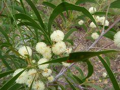 LIGHTWOOD: Acacia implexa . H6-8m w 3-6m