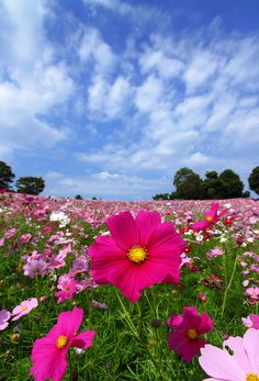 Cosmos, summer-fall bloom, plant in spring, Cosmos Flowers, Flowers Nature, Spring Flowers, Wild Flowers, Beautiful Flowers, Sun Flowers, Beautiful Beautiful, Mother Nature, Beautiful Gardens