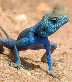 Découvrez 20 extraordinaires animaux bleus, une couleur rare dans le règne animal....Le margouillat