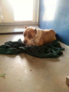 EXTREMELY URGENT - NEEDS VET!!! - WH259 / A3435175   8 YR/ 0.00 MO F WHITE / TAN STAFFORDSHIRE/MIX  STRAY Intake Date: 3/27/2014 S5 DIS-MED  *DOG IS VERY THIN HAS MATTED EYES AND IS LETHARGIC. Dehydrated, eyes sunken in   At risk for euthanasia at 5am, Mon. March 31   MCACC  2500 S. 27th Avenue Phoenix, AZ  (602-506-2765) https://www.facebook.com/photo.php?fbid=737074063010904&set=pb.258178804233768.-2207520000.1396220672.&type=3&theater