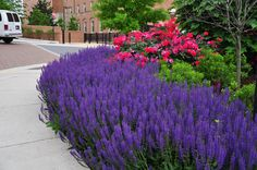 'May Night' Salvia and 'Knock Out' Rose | by University of Maryland Arboretum and Botanical Gar