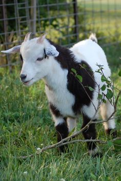 I just adore our little herd. We bought our first goats last spring from an awesome local breeder after toddlerpants went crazy for them one day at the zoo. I'm SO glad we got them because th…