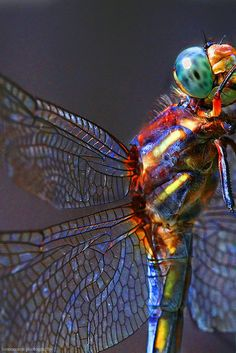 The beautiful dragonfly - fastest insect in the world clocking in at flight speeds of 60 mph. The exact purpose of a dragonfly's iridescent coloring is not determined but may relate to attracting a mate as well as be the by-product of light scatter from the way their bodies are formed to be so aerodynamic.