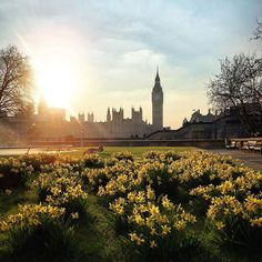 Wishing you all a very #HappyEaster  Family and friends are a gift. Tag your friends and family to send them some #Easter love! ☺️ || Stunning photo by @kazimghafoor  || #ThisIsLondon #westminster #bigben #sharethelove #daffodils
