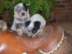 Take me home with you!!  Pups ready - Cupid and Romeo, sister Juliet is missing in this picture. 775-800-3170