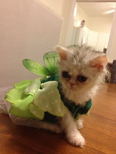 Mila as tinkerbell :) Teacup persian kitten
