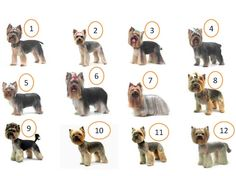 Comprehensive guide to the perfect Yorkie Haircuts for males and females. Get inspired from 100 + pictures of different short and long Yorkshire terrier hairstyles. Also see what are the most popular cuts for your pup. Yorkie Terrier, Yorkie Puppy, Terrier Dogs, Biewer Yorkie, Havanese Dogs, Poodle Puppies, Rottweiler Puppies, Perros Yorkshire Terrier, Yorkshire Terrier Haircut