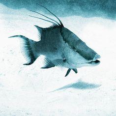 Hogfish Grand Cayman