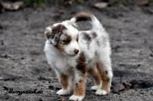 australien shepherd welpe - Google-Suche