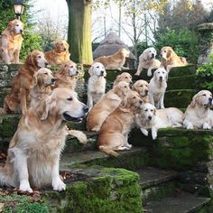 Astonishing Everything You Ever Wanted to Know about Golden Retrievers Ideas. Glorious Everything You Ever Wanted to Know about Golden Retrievers Ideas. Golden Retrievers, Dogs Golden Retriever, Baby Dogs, Pet Dogs, Dog Cat, Doggies, Labrador Dogs, Beautiful Dogs, Animals Beautiful