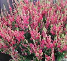 Calluna vulgaris 'Dark Beauty' 1 flower