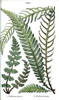 Botanical - Leaf - Fern, British Fern (18).jpg (1426×2420)