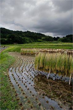 Richard Haughton - Advertising - Sake - drying the rice