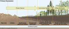 """Primary succession begins in barren areas, such as on bare rock exposed by a retreating glacier. The first inhabitants are lichens or plants—those that can survive in such an environment. Over hundreds of years these """"pioneer species"""" convert the rock into soil that can support simple plants such as grasses. These grasses further modify the soil, which is then colonized by other types of plants. Each successive stage modifies the habitat by altering the amount of shade and the composition…"""