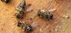Bienensterben – was kann ich dafür? (Foto: Tote Bienen mit Varroa-Milben von Maja Dumat unter CC-BY-2.0)