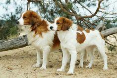 Dutch kooiker dog