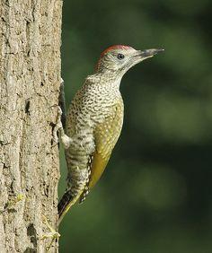 Groene Specht / Green Woodpecker