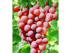 Kernlose Tafel-Trauben 'Vanessa®' Weinreben rot, 1 Pflanze, Vitis vinifera 1