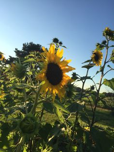 Sunflower Beauty (nature photography)