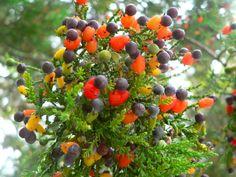 Dacrycarpus dacrydioides
