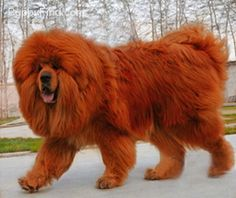 Tibetan Mastiff Pictures (8gye2370797 I would love to have one of these dogs. Absolutely gorgeous.