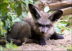 Very adorable baby Bat-eared fox / Big-eared dog (Otocyon megalotis, pes usaty) from ZOO Prague My best friend *Allerlei took this awesome photo: ____________ Canon 500D + kit lens 55-250 IS ______... woxys