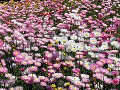 Western Australian wildflowers.  gotta love living here