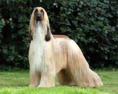 afghan hound akc correct jaw - Google Search