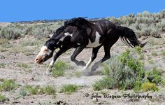 threatening body posture called snaking as a warning to other stallions or to move his heard along -- wild mustang Horse Photos, Horse Pictures, Most Beautiful Animals, Beautiful Creatures, Beautiful Things, Majestic Horse, Wild Mustangs, All The Pretty Horses, White Horses