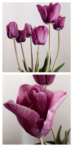 Tulipani magenta