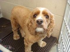 Lady Bug is an adoptable Cocker Spaniel Dog in Baraboo, WI. Thank you for considering a companion animal from the Sauk County Humane Society located in Baraboo, Wisconsin. If you are interested in one...