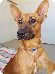Santa Rosa, CA - Shepherd (Unknown Type) Mix. Meet Jasmine, a puppy for adoption. http://www.adoptapet.com/pet/16794587-santa-rosa-california-shepherd-unknown-type-mix