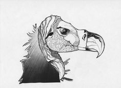 Images For > Vulture Drawing