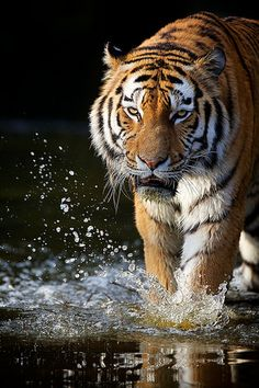 Siberian Tiger - http://www.1pic4u.com/blog/2015/01/03/siberian-tiger-8/