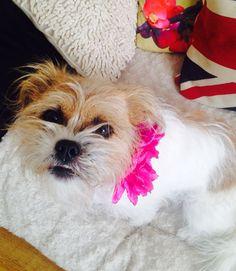 Dolly my beautiful little Jack Russell shitzu cross