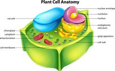 It is extremely easy and fun to make a plant cell model, provided you have all the parts labeled and ready. In fact, you can make an edible plant cell as well, using a cake as the base. Edible Cell Project, Plant Cell Project, Cell Model Project, Animal Cell Project, 3d Plant Cell Model, Plant Cell Parts, Plant Cell Structure, Cell Parts And Functions, Plant And Animal Cells