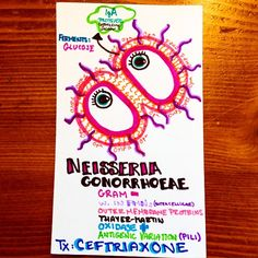 in honor of my #repro test today, I'd like to give a shout out this frisky little #microbe, Neisseria Gonorrhoeae! #gonorrhoea #gramnegative #diplococci #bacteria #micro #microbiology #bio #biology #STI #infectious #gettested #gynecology #urology #infection #ID #medicine #medical #medschool #medicalschool #medstudent #boardsprep #USMLE #knowyourbugs #instaanatomy #smartwork #knowledgeispower