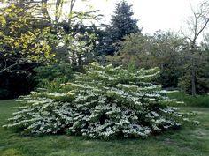 Add some color to your yard's sunny areas with low-maintenance shrubs. Flowering Shrubs For Shade, Full Sun Shrubs, Shade Shrubs, Trees And Shrubs, Evergreen Shrubs, Shade Plants, Landscaping Shrubs, Garden Shrubs, Shade Garden