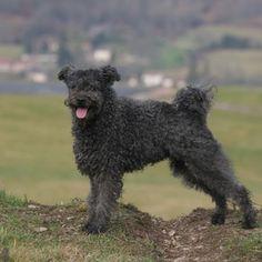 pumi dog photo | Pumi - Merkmale und Eigenschaften auf einen Blick
