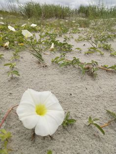 Sullivan's Island Beach is a treasure. Very natural and a quiet haven for the locals. Sullivans Island Beach, The Locals, Waves, Nature, Plants, Naturaleza, Plant, Off Grid, Natural