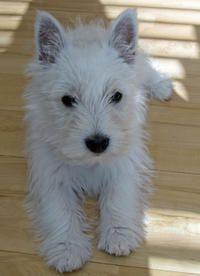 Fidgit the West Highland Terrier