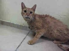 Safe!! TO BE DESTROYED 8/18/14 ** SENIOR ALERT! POOR RICKY JUST CAME IN ON SATURDAY!!! ** Brooklyn Center  My name is RICKY. My Animal ID # is A0752254. I am a neutered male org tabby domestic sh. The shelter thinks I am about 12 YEARS old.   OWNER SUR on 08/16/2014 from NY 11237, MOVE2PRIVA. Group/Litter #K14-190486.