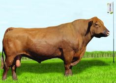 Eveon Quebracho - Red Angus