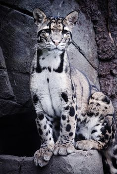 """Captive:   """" One year old Clouded Leopard at the Rare Species Conservation Centre in Sandwich, Kent."""
