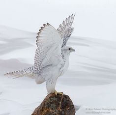Gyr Falcon - the largest falcon in the world.
